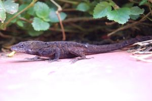 Anole by Fox-Superior