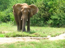 Elephants Nashville Zoo 2012 3 by TheNormal1