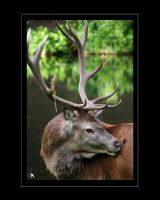 Red Deer Stag III by kilted1ecosse