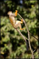Monkey acrobacy by Wolfling01