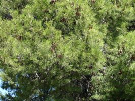 Pine Tree 3 by cazcastalla