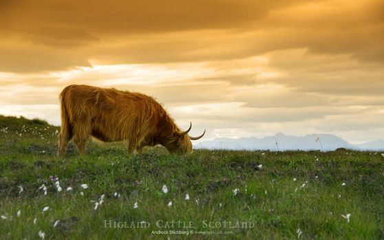 Highland Cattle by Stridsberg