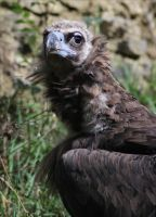 Monk Vulture II by Parides