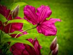 Clematis 3 by bamako