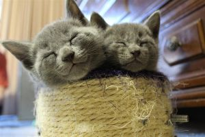 Russian Blue Kittens by Faeriegem