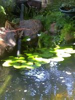 Pond lillies by TonberryOwnage13