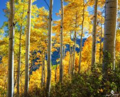Gold Aspens by mjohanson