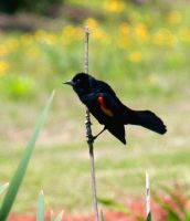 Red Winged Blackbird by Mischi3vo