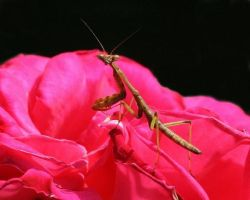 Praying Mantis 2 by Xercesa