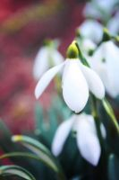 Snow bell by Alabastra