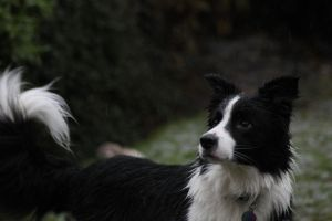 Collie Dogs 26 by Tasastock
