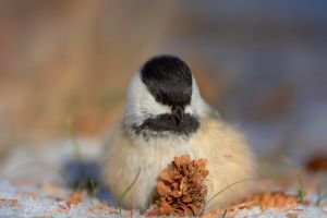Black Capped Chickadee - Fluffed by JestePhotography