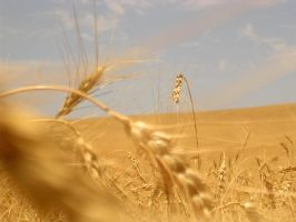 wheat by mufileu