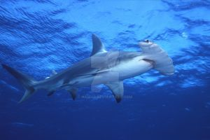 Shark Species ID: Great Hammerhead Shark by Namyr
