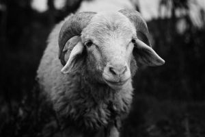 sheep by karman87