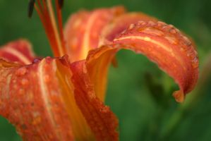 Lillies V by cmarhoover