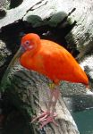 Orange Plumed Bird by rioka