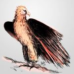 Bearded Vulture by lllannah