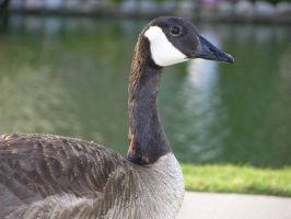 Goose 6... by Jupiter-Foxclaw