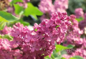 red lilac blossoms by HikarinoChou