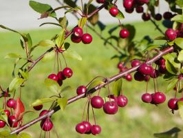Berries by LifeThroughALens84