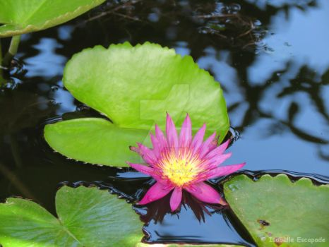 Lily on the pond... by IsabelleEscapade