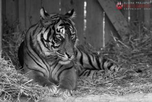 Resting tiger. by Ravenith