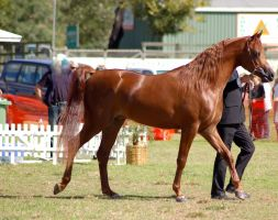 TW Arab Chestnut walking side view by Chunga-Stock