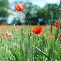 Field of poppies by kabbi