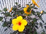 yellow hibiscus by TreborNehoc