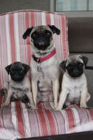 Pug with Puppies by icantthinkofaname-09