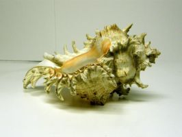 Conch Shell Stock6 by D-is-for-Duck