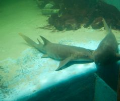 nurse shark by MLeighS