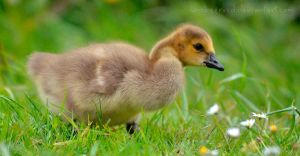 Baby Duck by unobserved