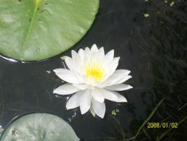 Water Lily by tomuchtime