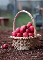 Autumn Apples by VictoriaJill