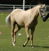 Palomino-riding-pony-39 by tbg-stock-images