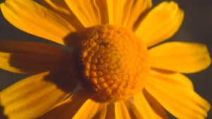 Yellow Flower Macro 2 by TheGerm84