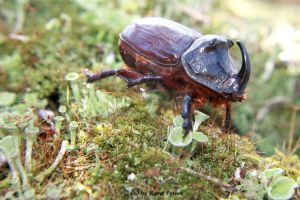Rhinoceros-beetle 2 by bluesgrass