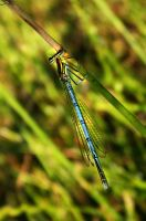 Dragonfly by ols-bels