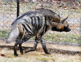 Striped Hyena by DdBPhoto