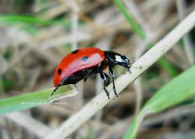 macro ladybird by LittleFlair