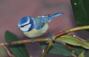 Little Shy Blue Tit by bluesgrass