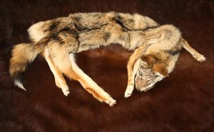 mountable coyote pelt by Nimgaraf