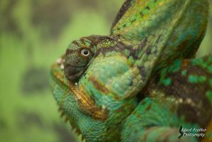 Veiled Chameleon by EdgedFeather
