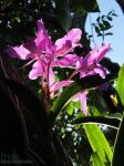 Cattleya by blacsteel
