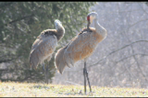 Sand Hill crane pair by atrafeathers