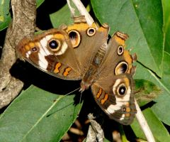 Common Buckeye by duggiehoo