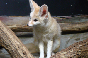 Cincy Zoo fox by 22Tsuji22