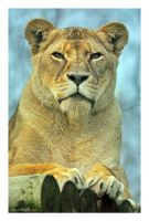african lioness by photoflacky